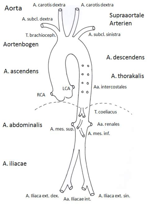 diagram of the aorta abdominal aorta bifurcation