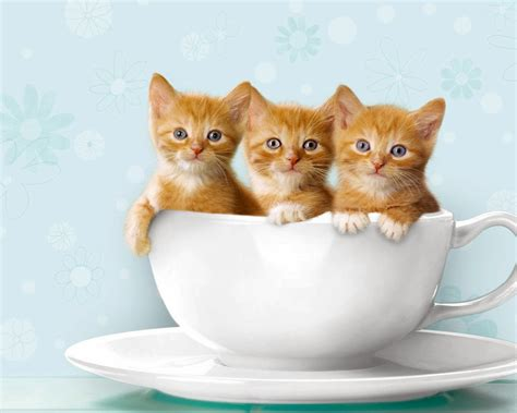 three cute kittens three little cute cats in tea cup wallpaper cat pictures