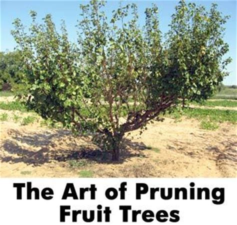 fruit trees in pa 1000 ideas about prune fruit on pruning fruit