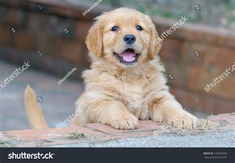 crate your golden retriever puppy golden retriever puppy stock photo 126058058