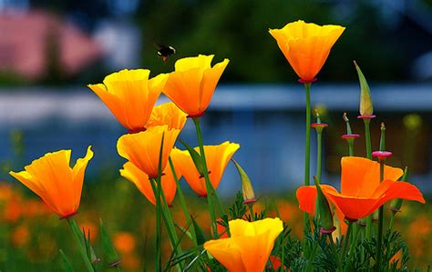 grow california poppy sleep disorders advice