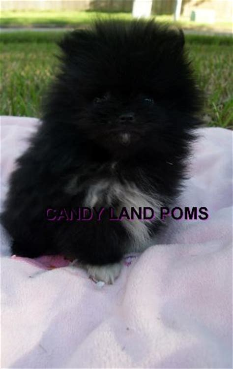 pomeranian puppies for sale in lubbock teacup faced pomeranian puppies for sale in breeds picture