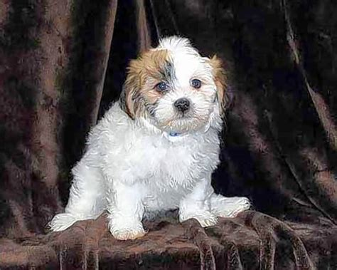 havanese shih tzu poodle two dogs stolen from arlington heights shop