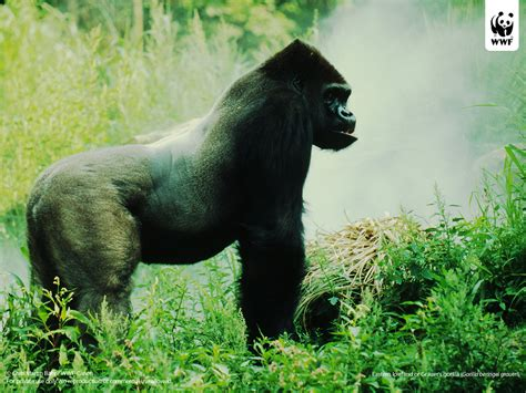 Mountain gorilla | WWF