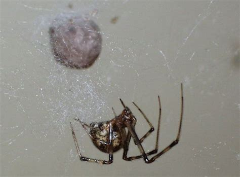 american house spider 17 new york spiders that will make your skin crawl