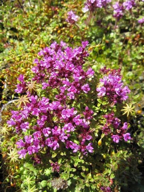 teppich thymian bodendecker thymus serpyllum coccineus teppich thymian feld