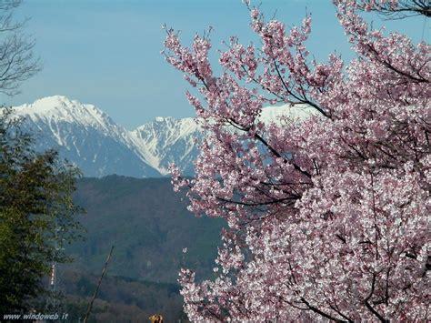 alberi fioriti in primavera alberi fioriti in primavera