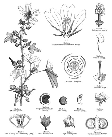 malvaceae floral diagram pin malvaceae floral diagram eyesforyourimage on