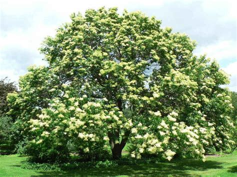 lilac tree information plantfiles pictures pekin lilac peking tree lilac