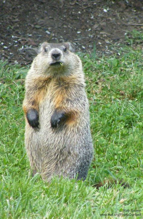 groundhog day best 20 happy groundhog day ideas on