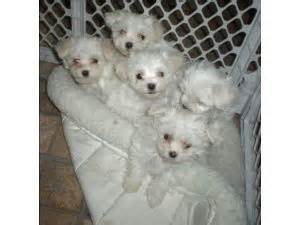 maltese puppies for sale in md maltese puppies in maryland
