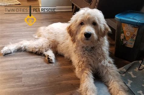 best food for goldendoodles goldendoodle preferred project on www alduncan us