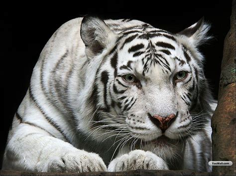 White Tiger L by White Tiger The Animal