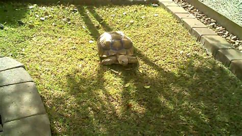 sulcata tortoise habitat home backyard youtube