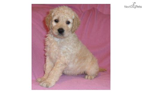 goldendoodle puppy care goldendoodle puppy for sale near akron canton ohio