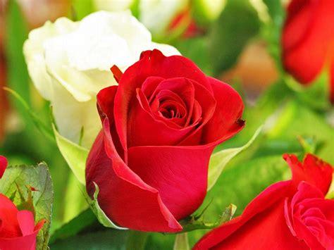 koleksi gambar bunga mawar terindah yang belum ada ketahui hewan imut apk mod