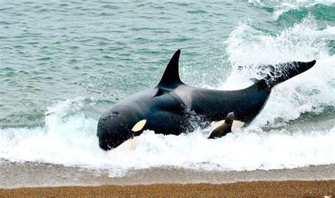 killer whales with sea pup shave lucky sea dodges after being