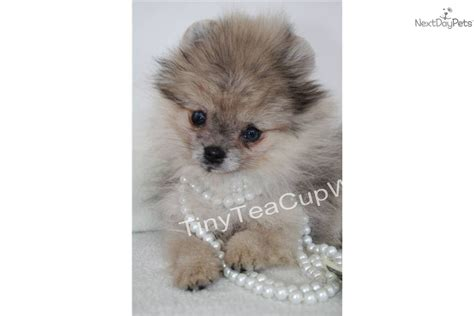 blue merle teacup pomeranian puppies for sale pomeranian puppy for sale near arizona fe87e8b8 2fc1