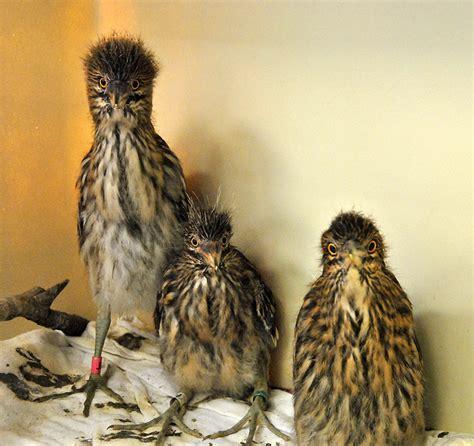 international bird rescue every bird matters 187 baby birds