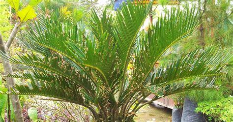 Benih Rambutan Gula Batu bumi hijau nursery 002279488 d benih pokok cycas bogak