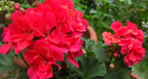 fiore geranio significato geranio nel linguaggio dei fiori