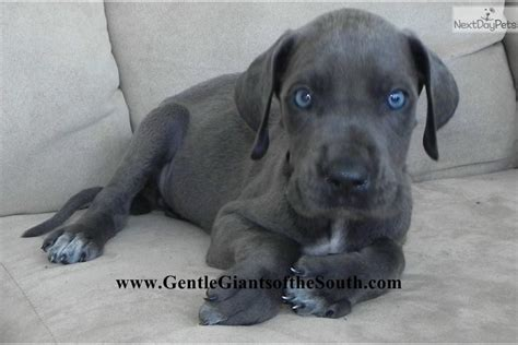 great dane puppies near me great dane puppies near me for sale