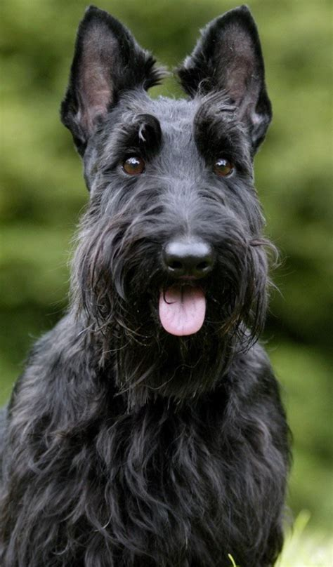 scottish yerrier haircuts scottish terrier haircut photos search results