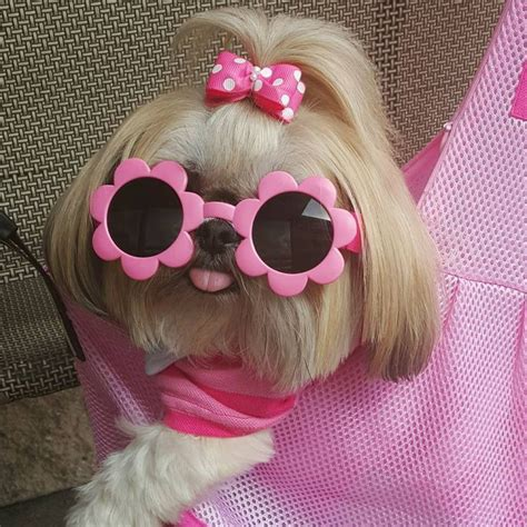 taking my shih tzu on a plane 1037 best images about shih tzus on pets lhasa and