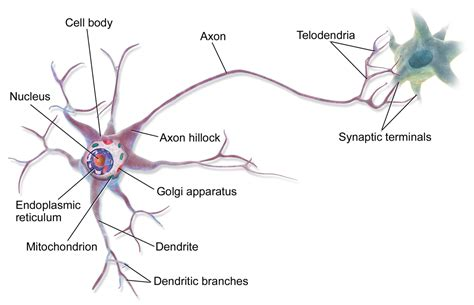 model of a motor neuron multipolar neuron