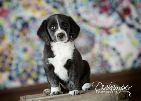 border collie beagle mix puppies best 25 beagle shepherd mix ideas on corgi shepherd mix lab and corgi