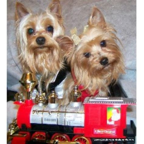 yorkie rescue tennessee terrier yorkie breeders in tennessee freedoglistings breeds picture