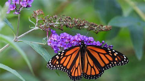 imagenes de mariposas unicas mariposas