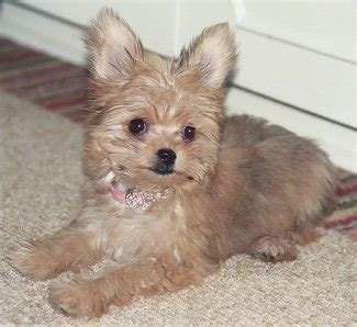 all about yorkies personality image gallery yorkie chihuahua
