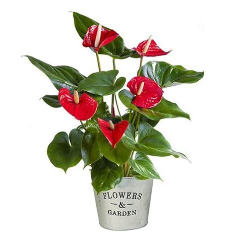 manda fiori anthurium roja enviar plantas decorativas a domicilio