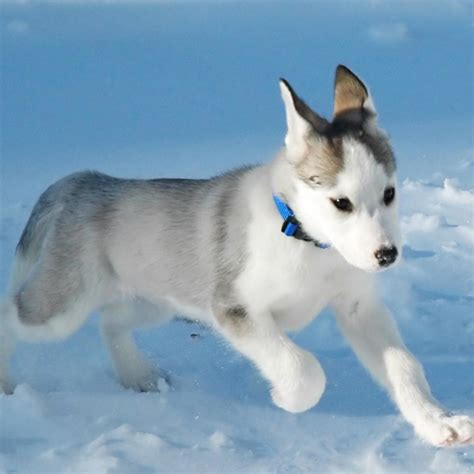 canadian eskimo canadian eskimo breed guide learn about the canadian eskimo