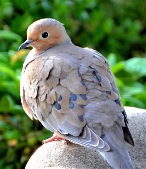 mourning dove feathered friends pinterest