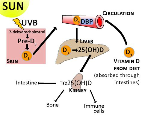 vitamin d l reviews research review vitamin d and your genes