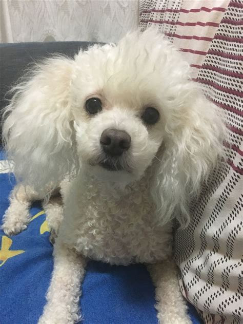 picture of poodle with silky hair texture 25 best ideas about toy poodles on pinterest toy poodle