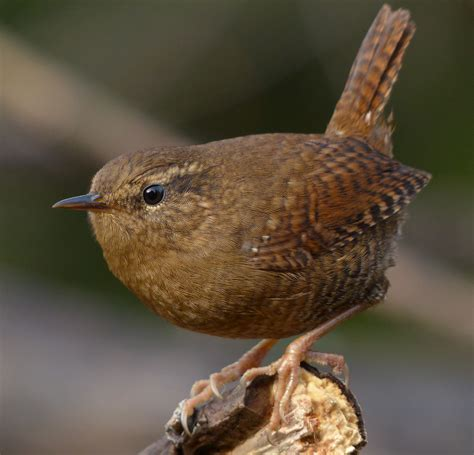 winter wren in a carolina cathedral with gordon hempton