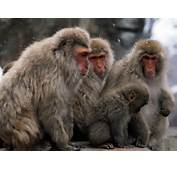 Free HQ Japanese Snow Monkey Wallpaper  Wallpapers