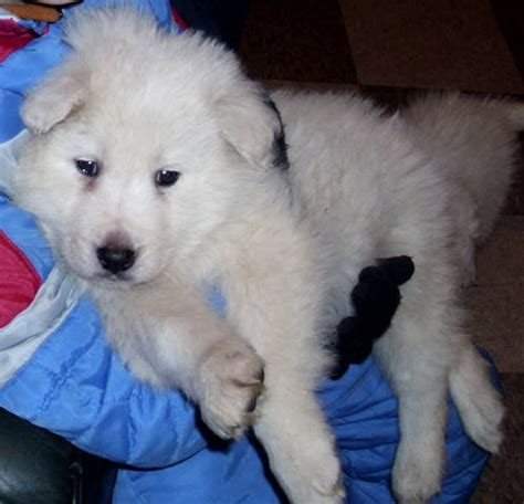 maremma puppies for sale maremma sheepdog puppies for sale adoption from kettleby ontario york adpost