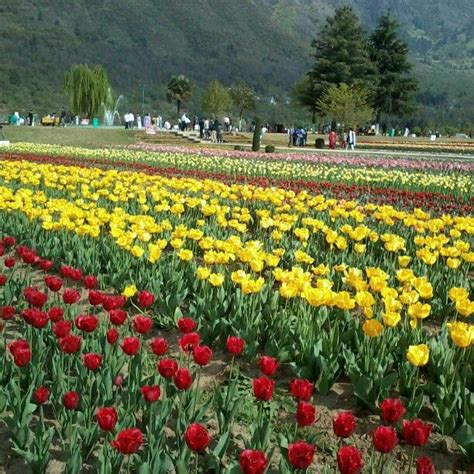 Tulip Garden At Srinagar Kashmir India Travelogue Tulip Flower Garden In India