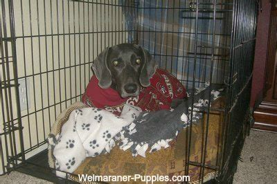 puppy crate tips crate tips for your new puppy weimaraner puppies