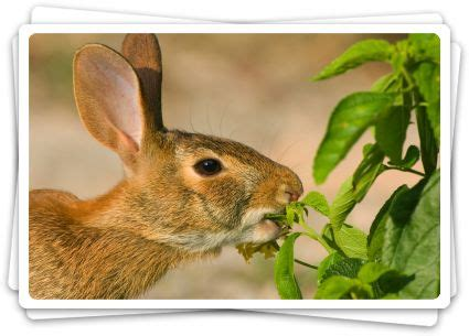 getting rid of rabbits in backyard does human hair repel rabbits styling hair extensions