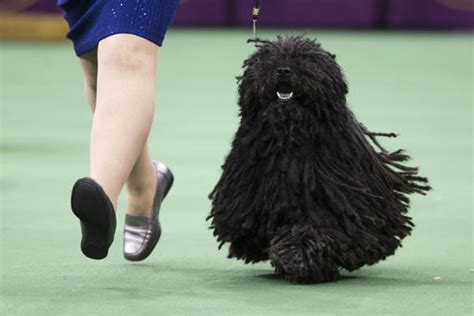 westminster show 2017 tv schedule 2017 westminster show day 2 tv coverage and live schedule bleacher report