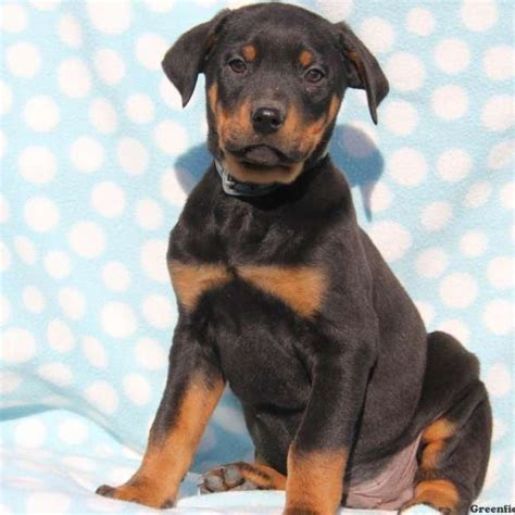rotterman puppies moe rotterman puppy for sale in pennsylvania