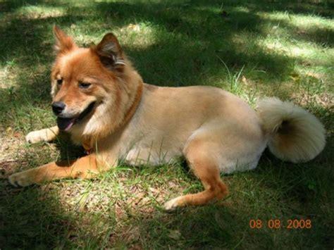 picture of golden retriever chow mix golden retriever chow mix photos thriftyfun