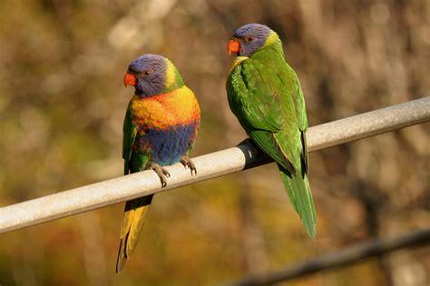 Bird Figures rainbow lorikeet birds in backyards