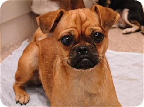 pug and chihuahua mix info baby adopted greensboro md pug chihuahua mix