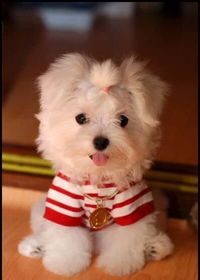 Maltese Shedding Hair by Pictures Of Tea Cup Non Shedding Dogs Breeds Picture
